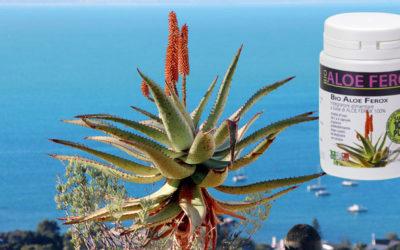 Aloe Ferox pianta