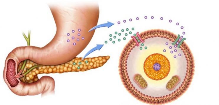 come agisce l'insulina