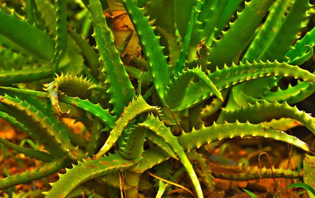 Aloe Vera Proprietà Terapeutiche 1