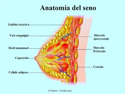 anatomia del seno, ghiandole
