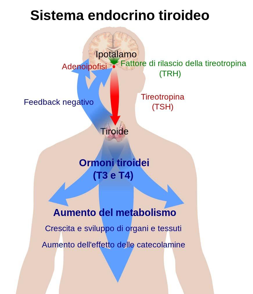 Sistema endocrino tiroideo