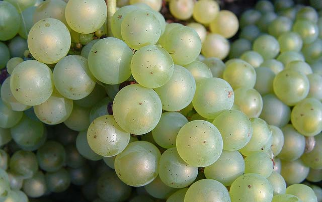 La dieta dell'uva funziona ? Opinioni e proprietà dell'uva