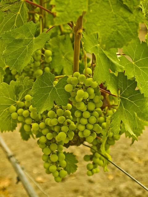 proprietà dell'uva