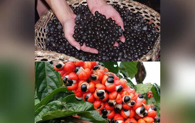Guarana proprietà benefiche ed utilizzi