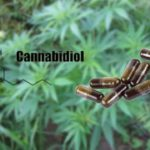 ll Cannabidiolo o Cbd Cos'è ? Il principio attivo della cannabis dalle proprietà terapeutiche