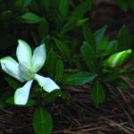 Estratto di Gardenia cos'è e dove si utilizza