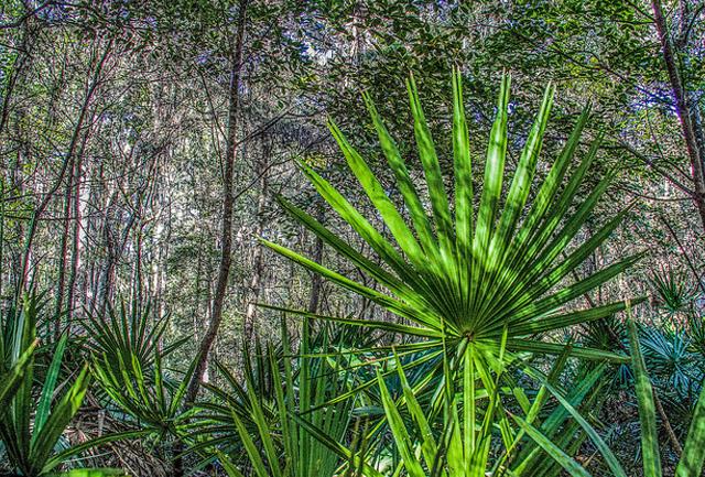 serenoa pianta medicinale