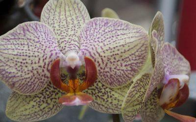 Orchidee prorpietà benefiche
