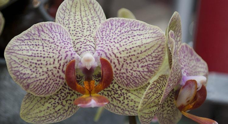 Le proprietà benefiche dell'orchidea e cenni storici