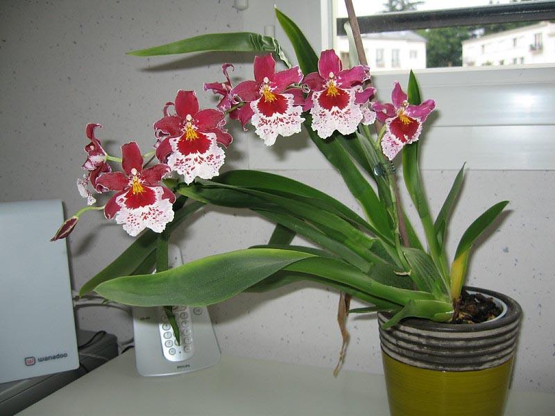 Orchidea In Casa Benefici